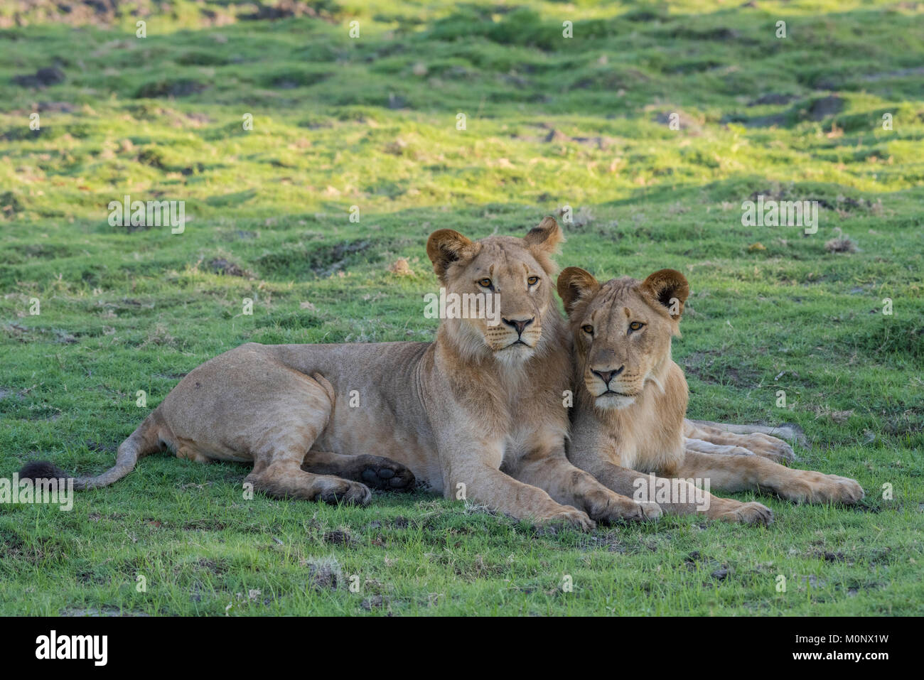 Lion (Panthera leo),two young males lying close together,Chobe National Park,Chobe District,Botswana - Stock Image