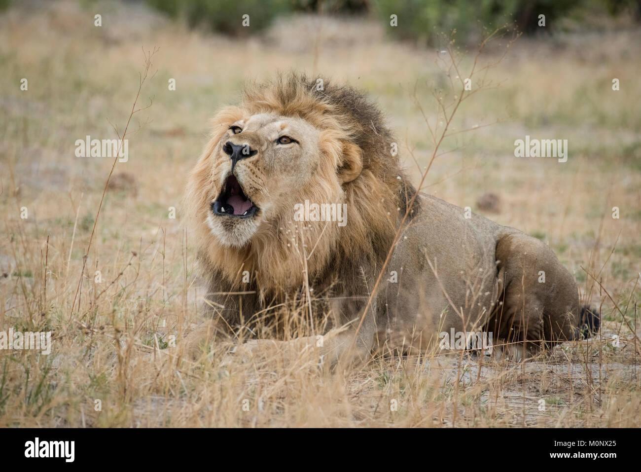Lion (Panthera leo) roars,male is lying in dry grass and roars,Savuti,Chobe National Park,Chobe District,Botswana - Stock Image