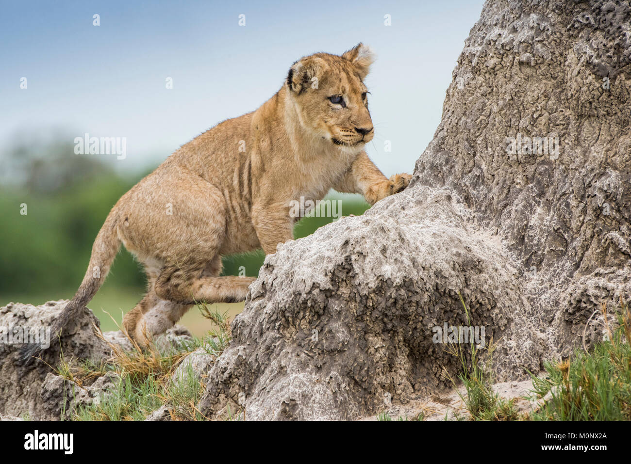 Young Lion (Panthera leo) climbs on a termite mound,Savuti,Chobe National Park,Chobe District,Botswana - Stock Image