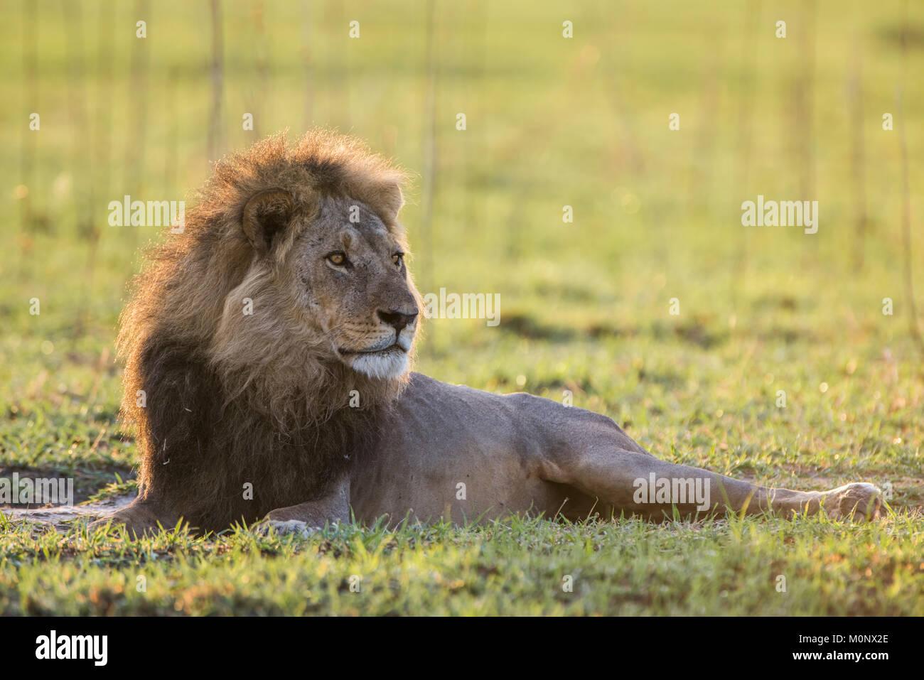 Lion (Panthera leo) looks attentively,male,Savuti,Chobe National Park,Chobe District,Botswana - Stock Image