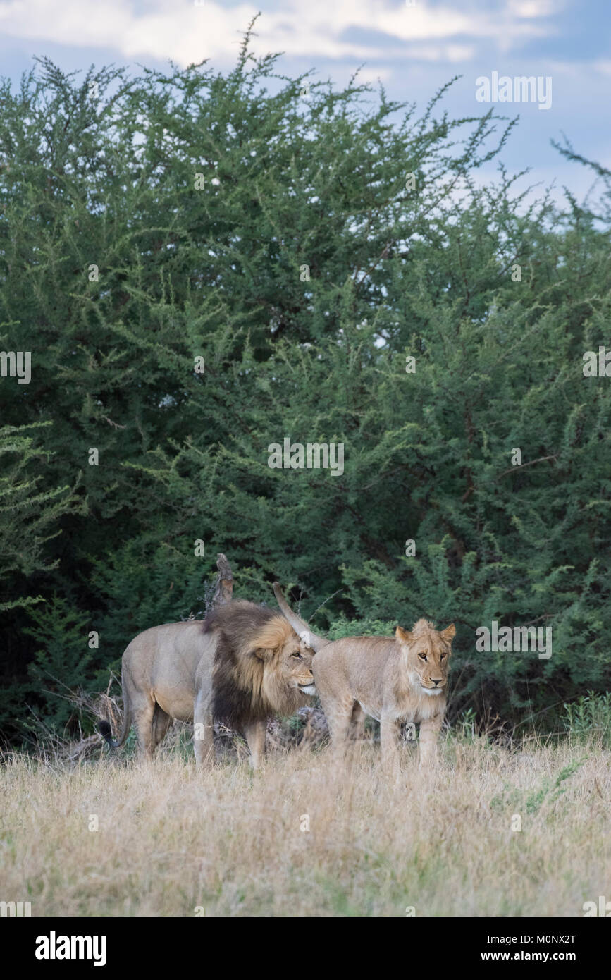 Adult and adolescent male Lion (Panthera leo),Savuti,Chobe National Park,Chobe District,Botswana - Stock Image