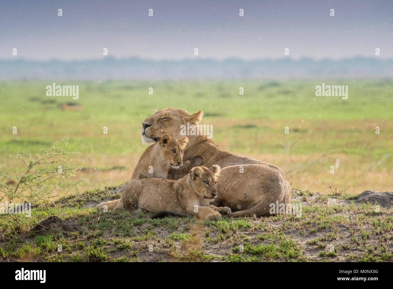 Lioness (Panthera leo) with kittens,Savuti,Chobe National Park,Chobe District,Botswana Stock Photo