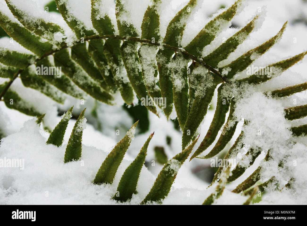 Green Ferns Covered In Snow Stock Photo