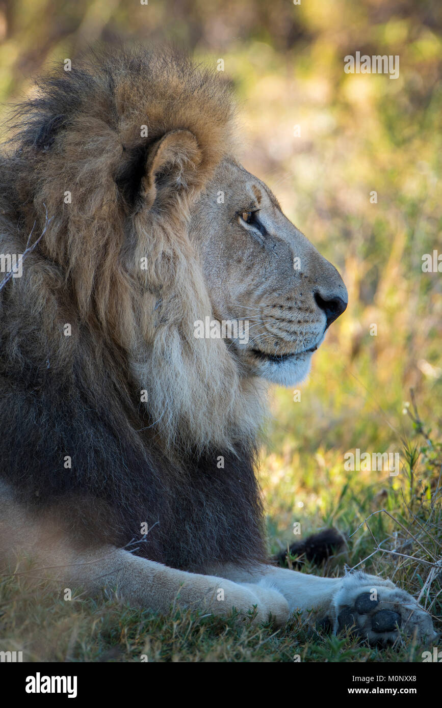Kalahari lion (Panthera leo vernayi),male,portrait,lateral,Nxai Pan National Park,Ngamiland District,Botswana - Stock Image