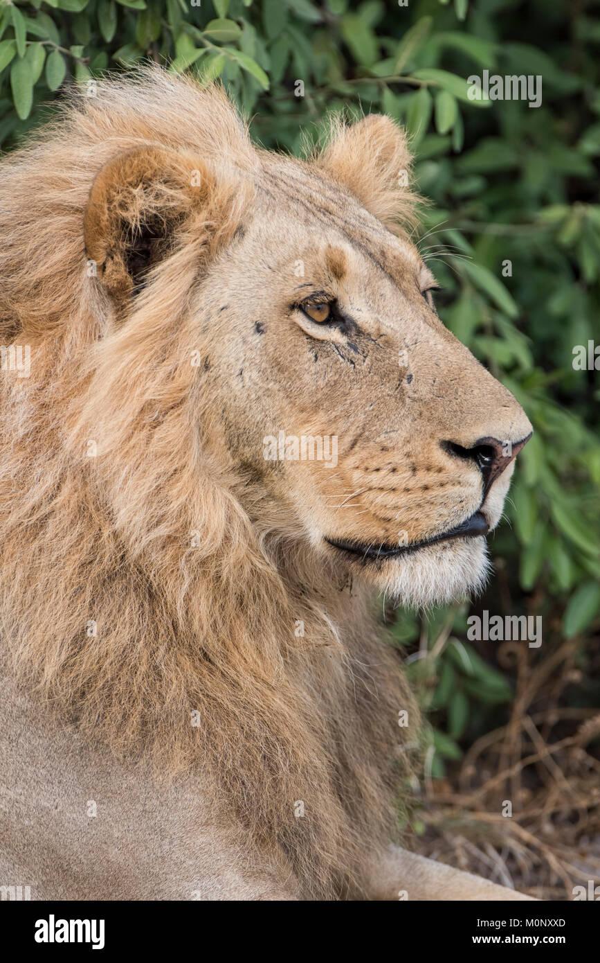Lion (Panthera leo),male,portrait,side view,Savuti,Chobe National Park,Chobe District,Botswana - Stock Image