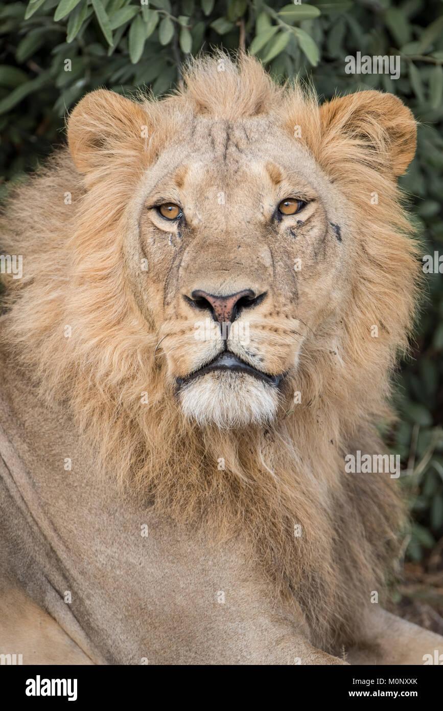 Lion (Panthera leo),male,portrait,Savuti,Chobe National Park,Chobe District,Botswana - Stock Image