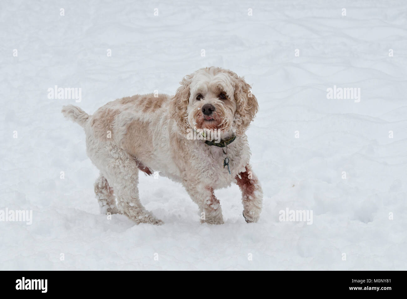 Cockapoo in snow - Stock Image