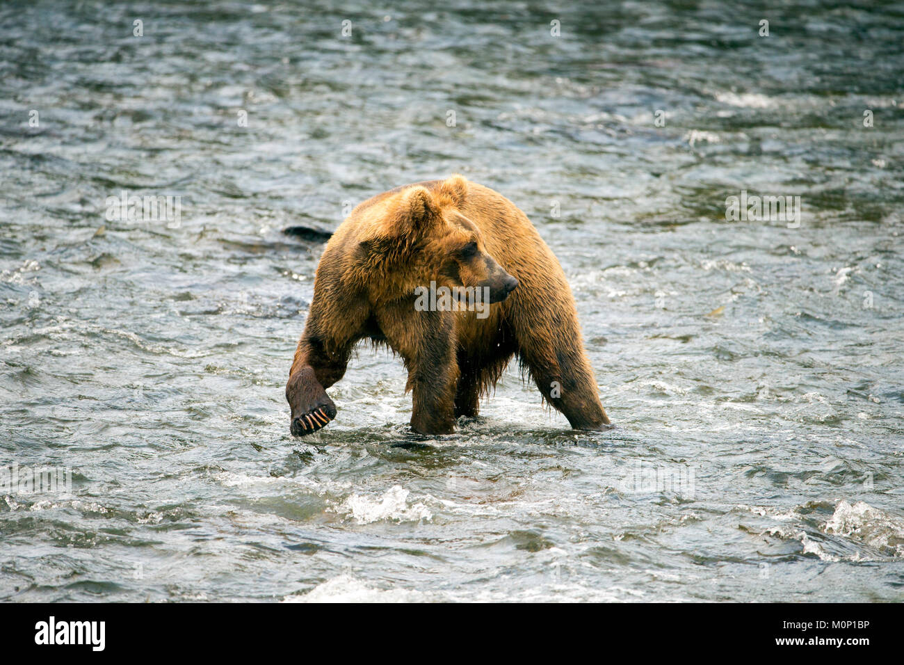 The Alaskan Brown Bear walking the lake front on a remote lake in Alaska USA. Known to be the larges of large brown - Stock Image