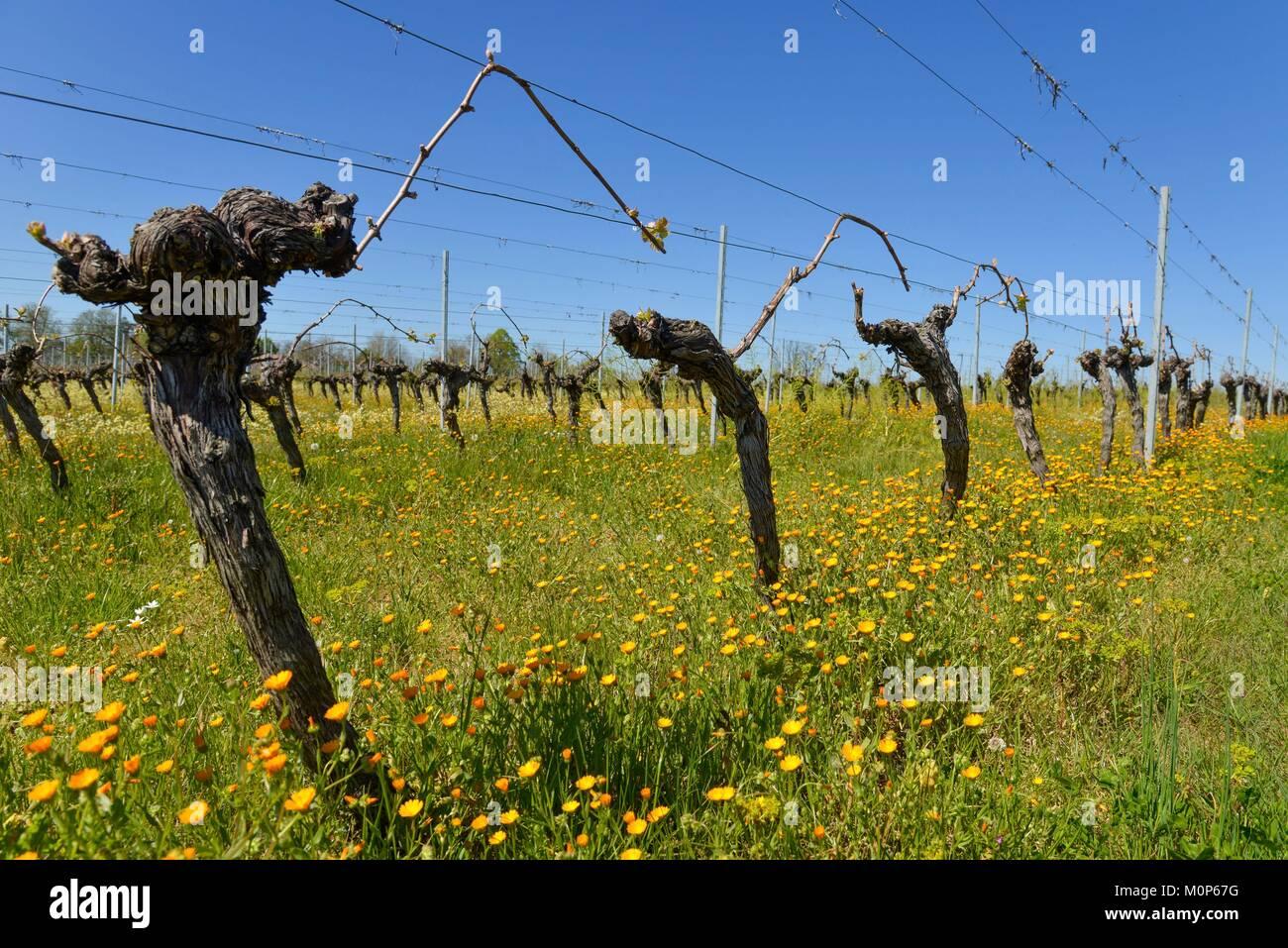France,Dordogne,Montbazillac,vine stocks - Stock Image