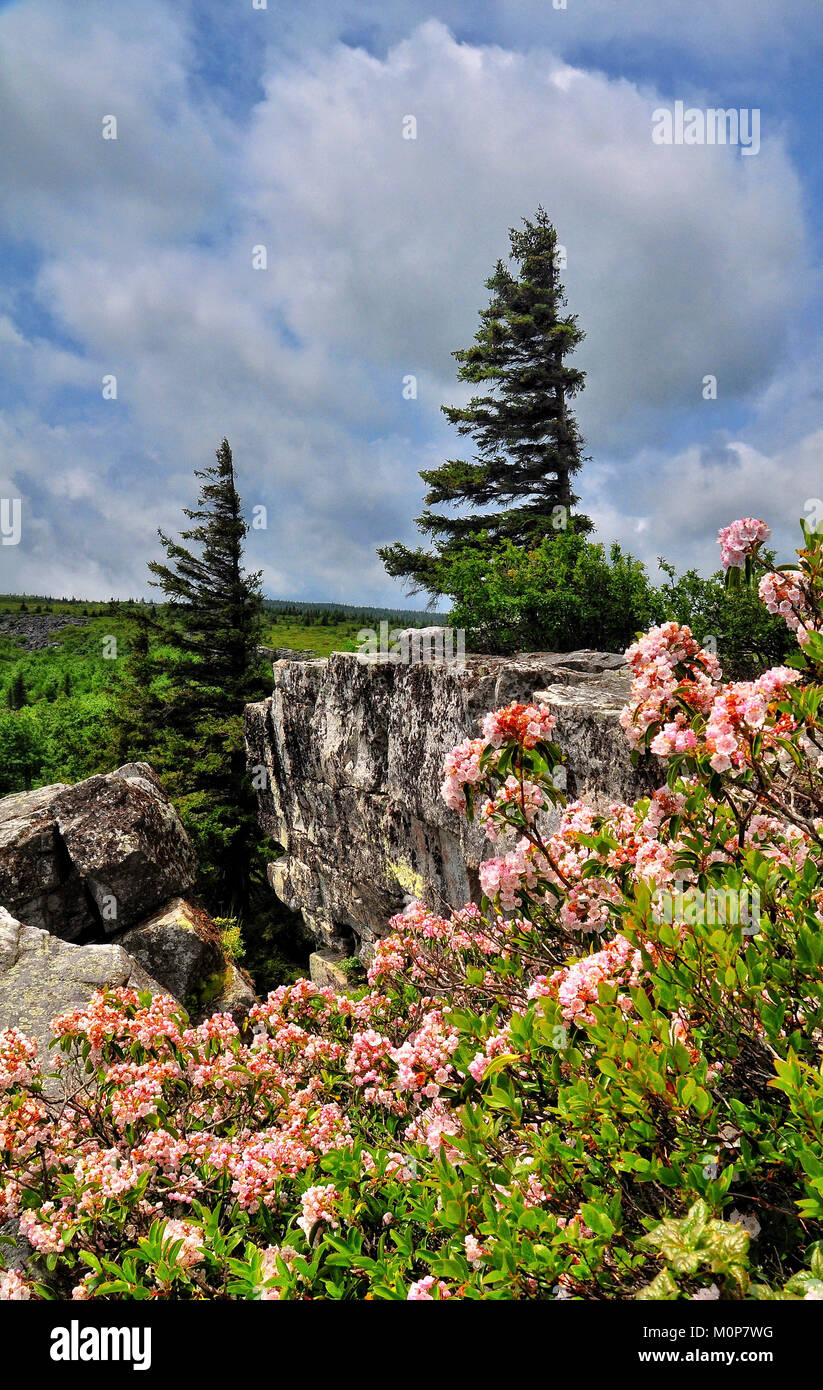 Dolly Sods Bear Rocks in bloom with Mountain Laurel West Virginia - Stock Image