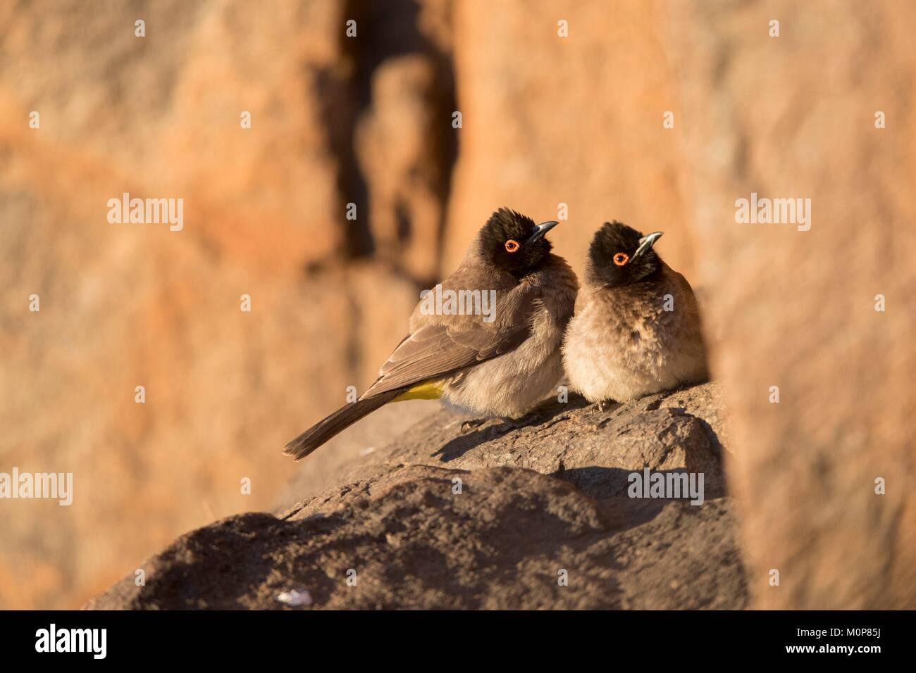 South Africa,Upper Karoo,African red-eyed bulbul or black-fronted bulbul (Pycnonotus nigricans),resting in a cliff,warming Stock Photo