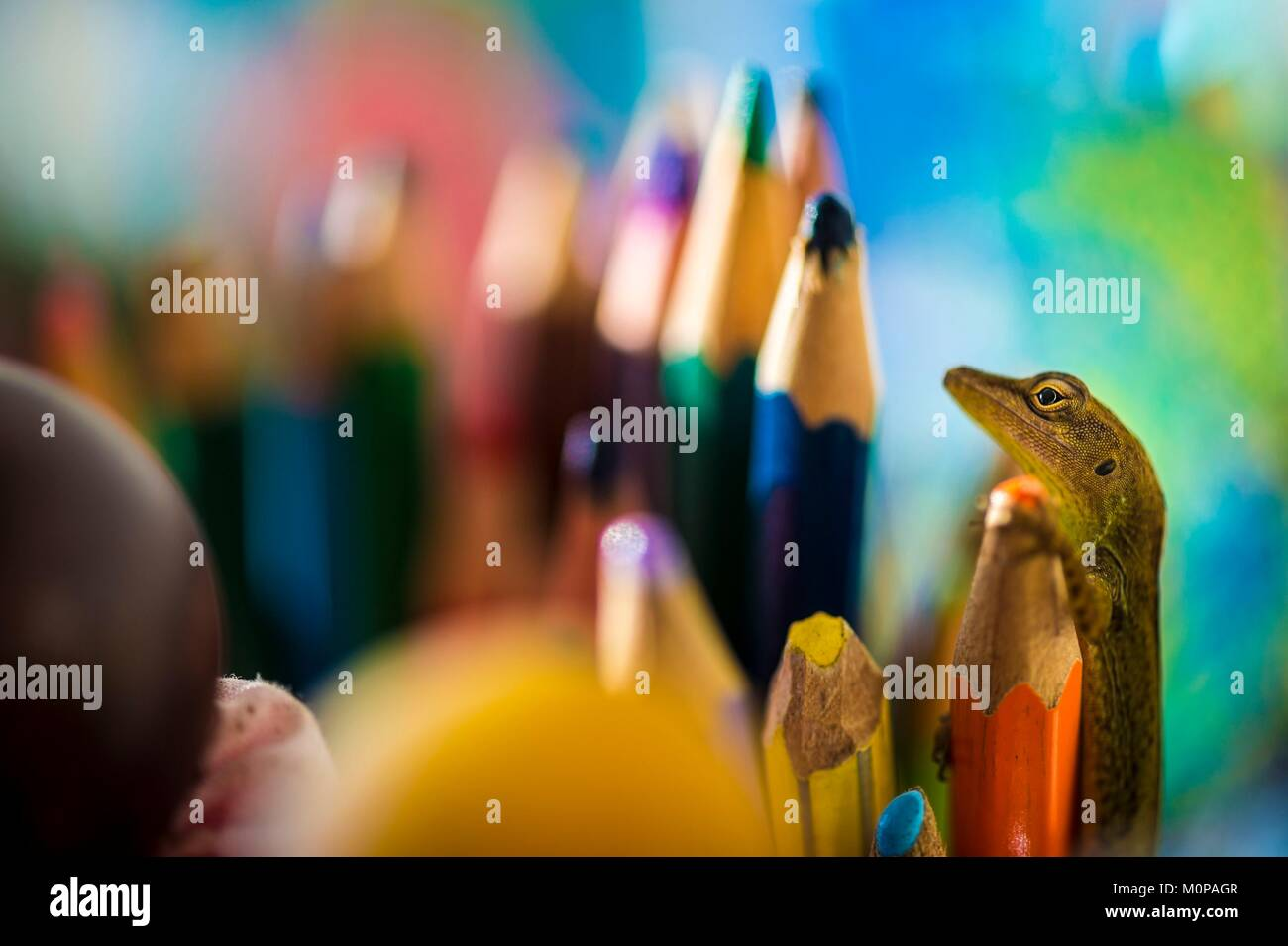 France,Caribbean,Lesser Antilles,Guadeloupe,Basse-Terre,Petit-Bourg,An Anolis has artistic impulses among colored Stock Photo