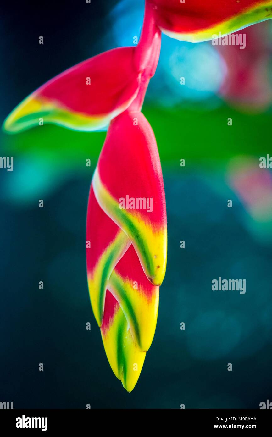 France,Caribbean,Lesser Antilles,Guadeloupe,Basse-Terre,Petit-Bourg,Heliconia pendula rostrata flower - Stock Image