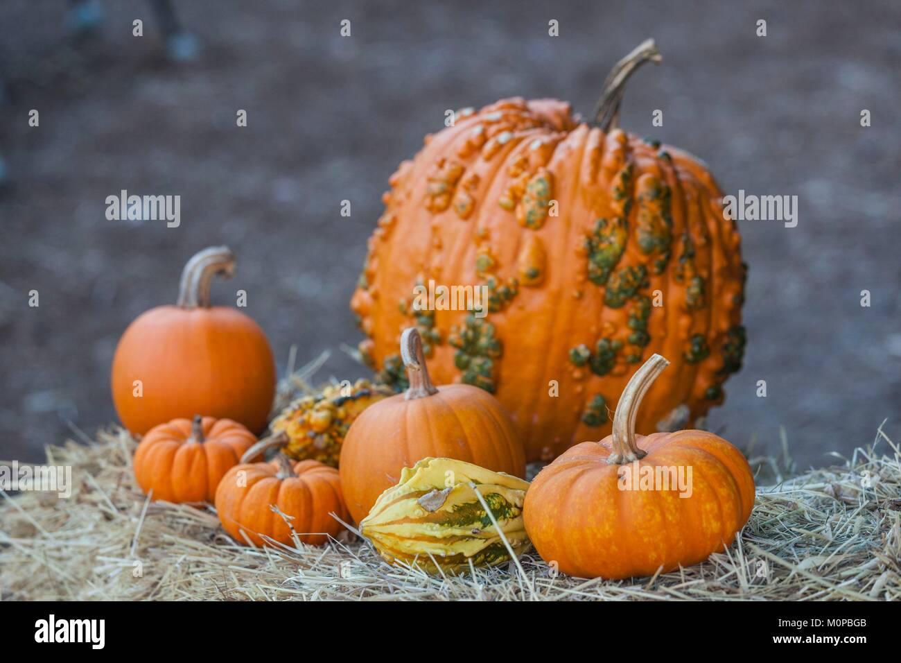 United States,New York,Adirondack Mountains,Bolton Landing,autumn pumpkins - Stock Image