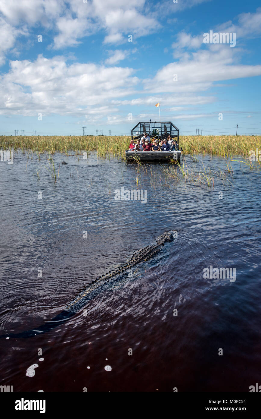 Alligator approaching airboat in Florida Everglades at Sawgrass Recreation Park, a popular day trip for tourists - Stock Image