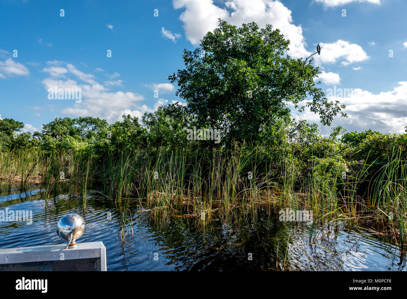 Florida Everglades in Sawgrass Recreation Park view from an airboat of grass, an osprey bird sitting in the tree - Stock Image