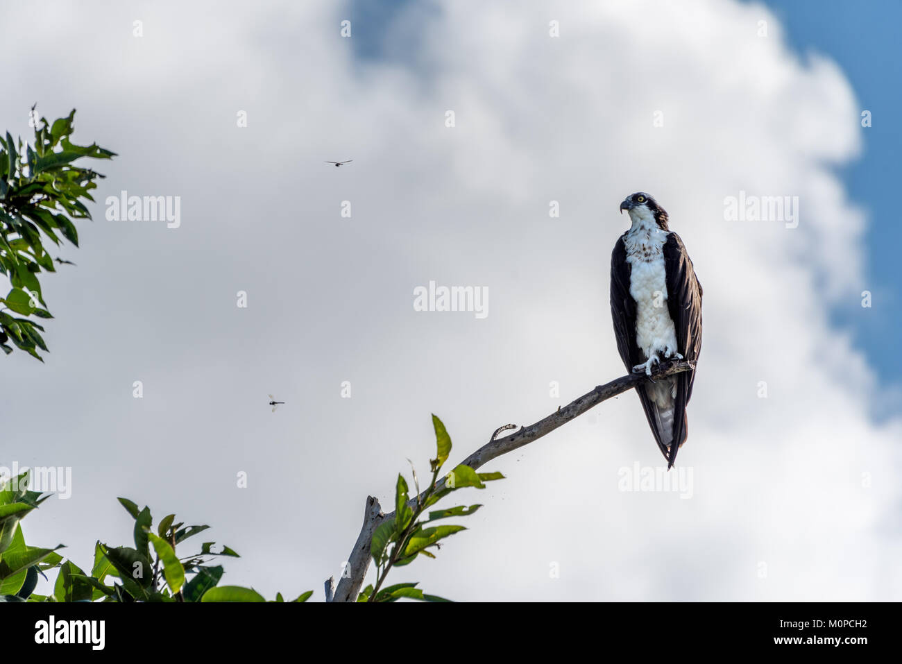An osprey sits on tree branch in the Florida Everglades with two dragonflies flying beside it in Sawgrass Recreation - Stock Image