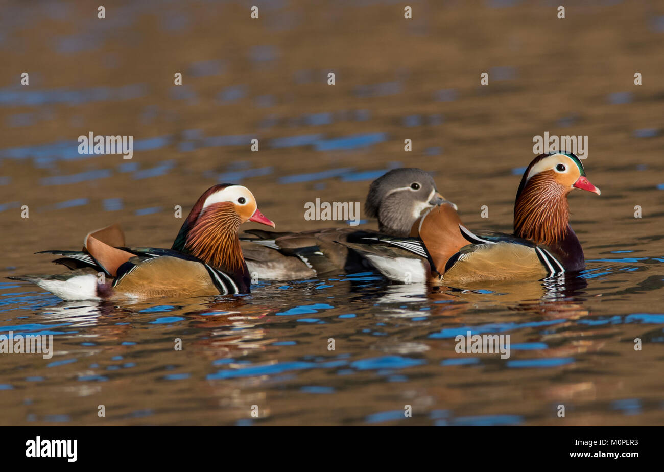 Male And Female Mandarin Ducks Aix Galericulata Swimming On A Lake In Sunshine Peak District South Yorkshire UK