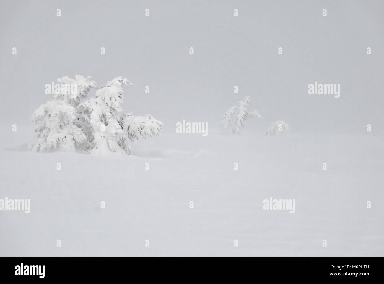 Stunted spruces covered with snow during a snowstorm - Stock Image