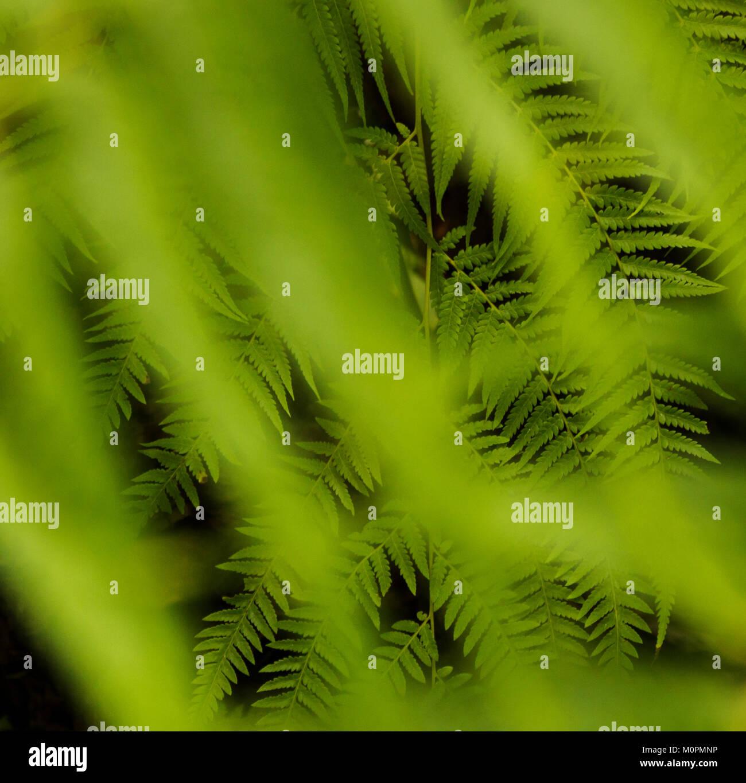 Green Ferns Seen Through Blurry Foliage Stock Photo