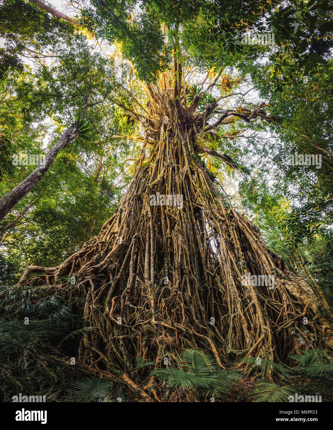 Cathedral Fig Tree in Atherton Tableland, Queensland - Stock Image