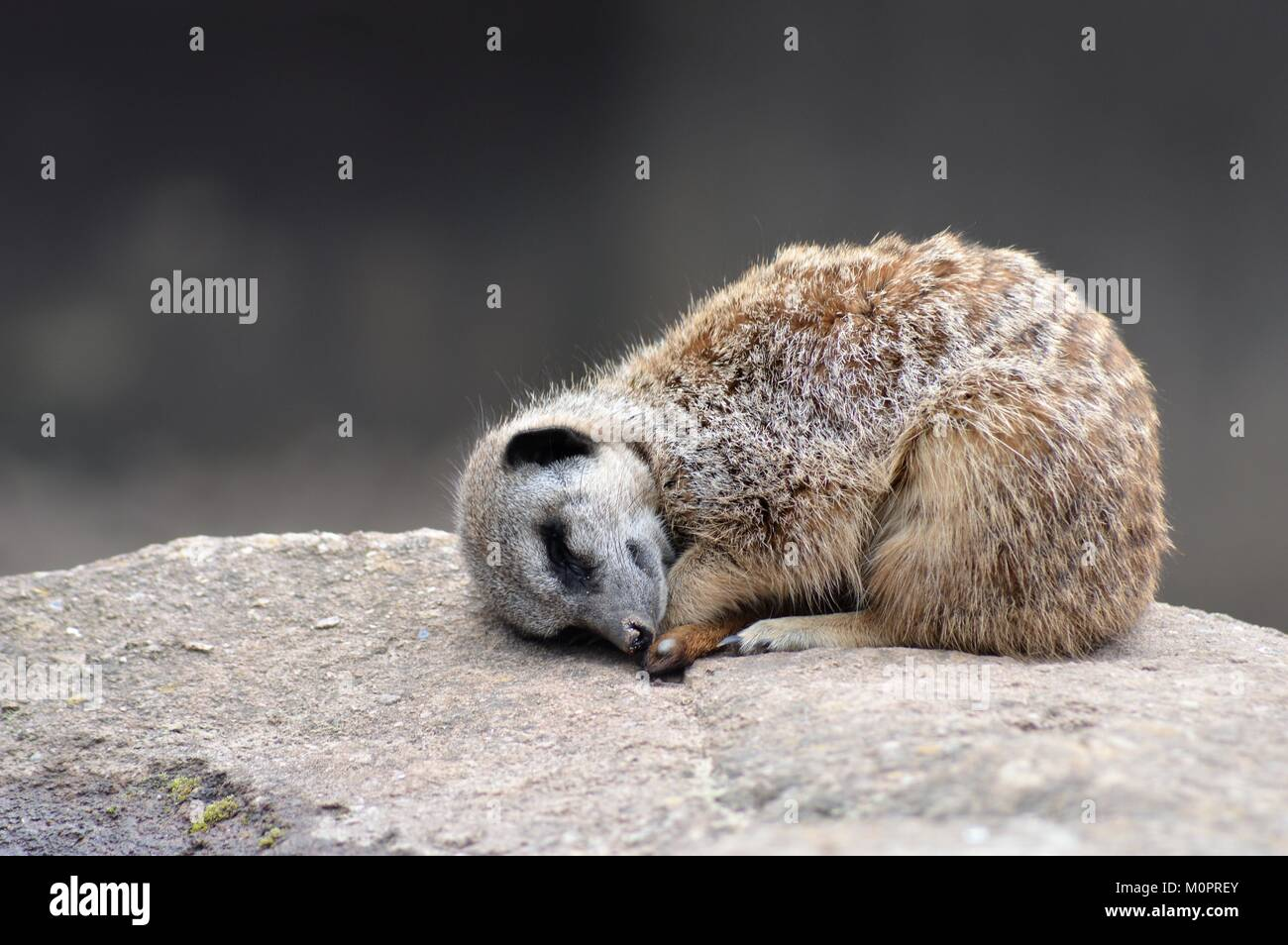 Sleeping Meerkat - Stock Image