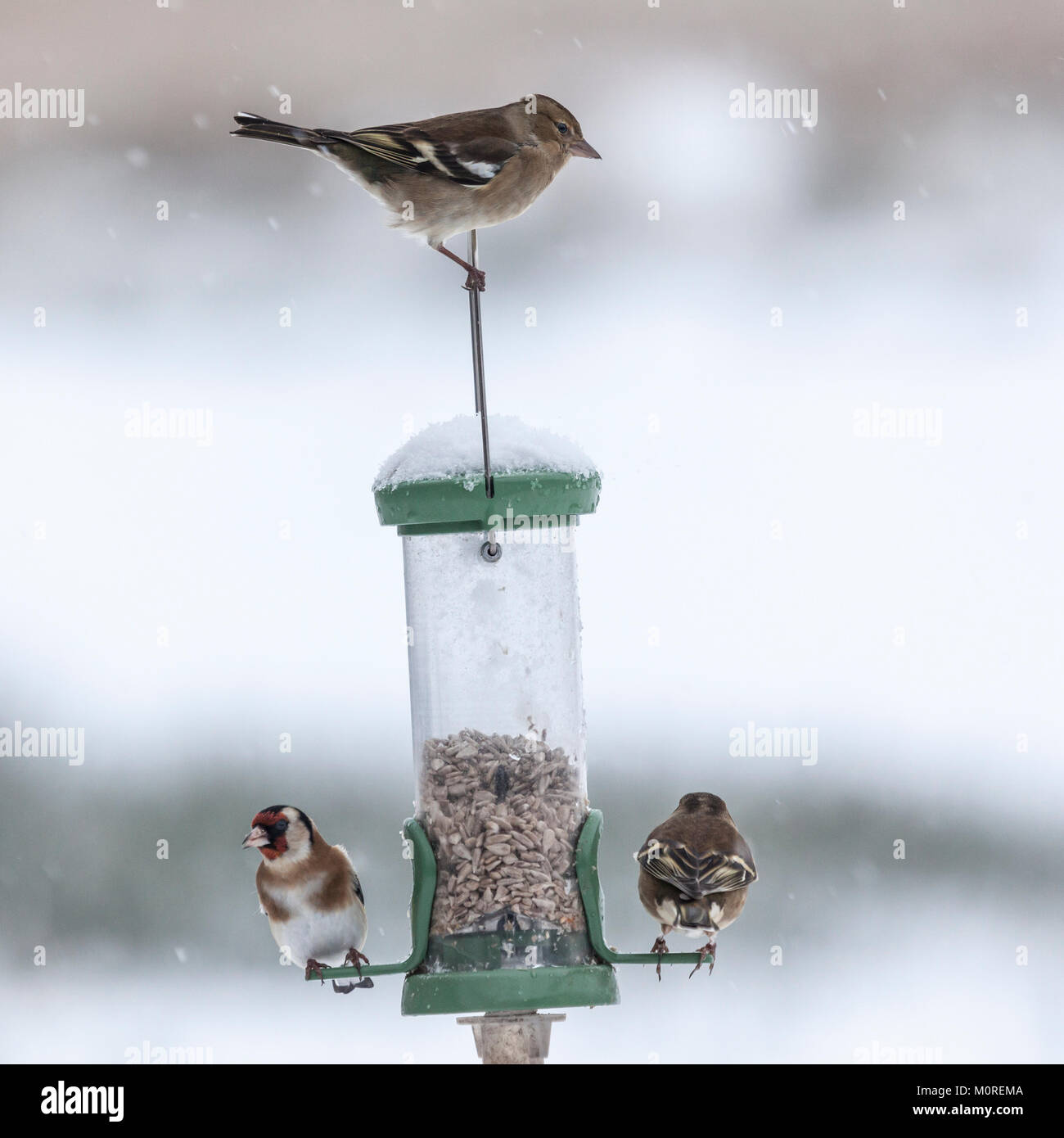 A Goldfinch and two female Chaffinches on a feeder during a snow shower at Lochwinnoch RSPB reserve, Scotland, UK. - Stock Image