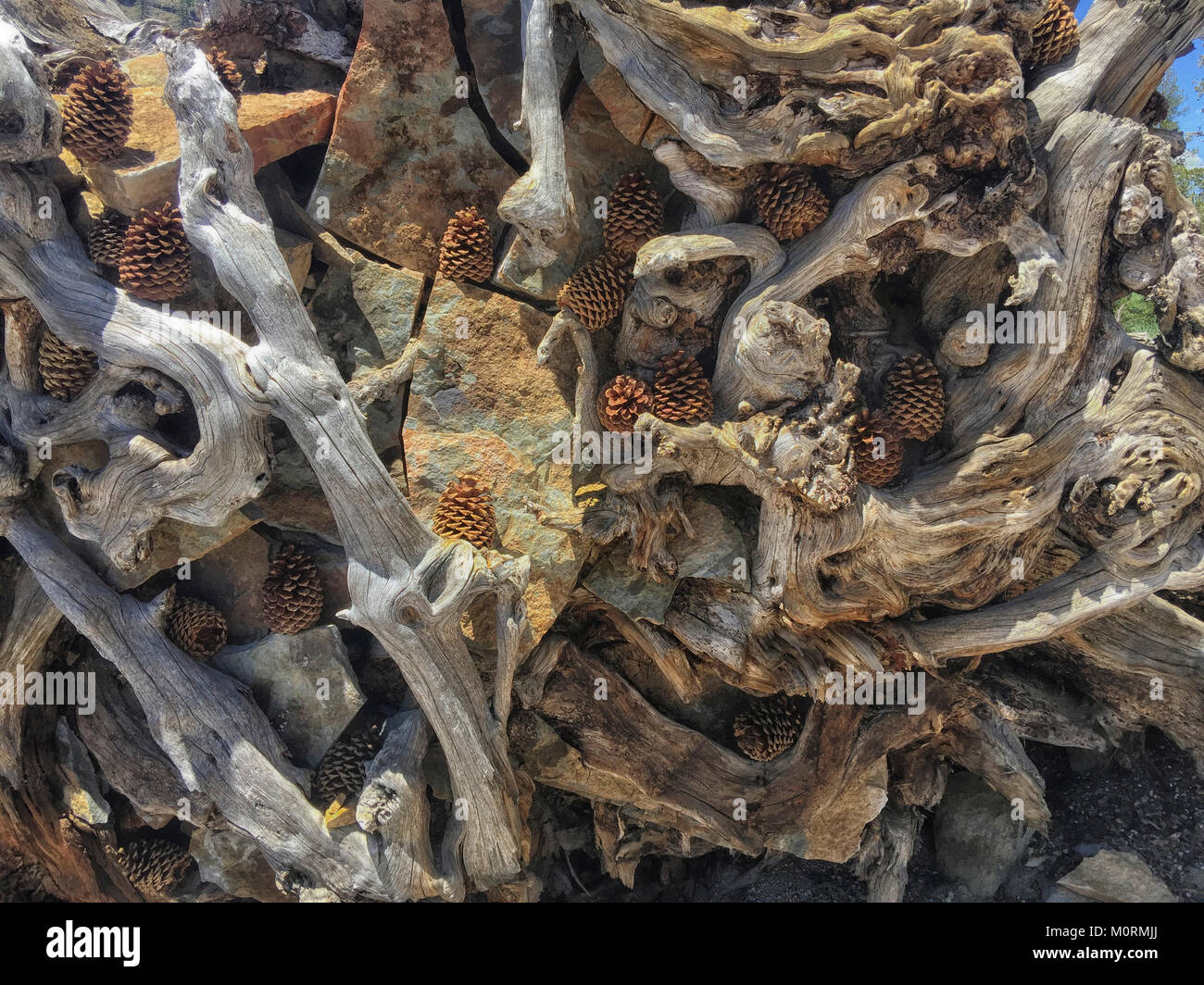 Dead Trees from Rainbow Fire near Rainbow Falls, Devils Postpile National Monument, Inyo National Forest, California, - Stock Image