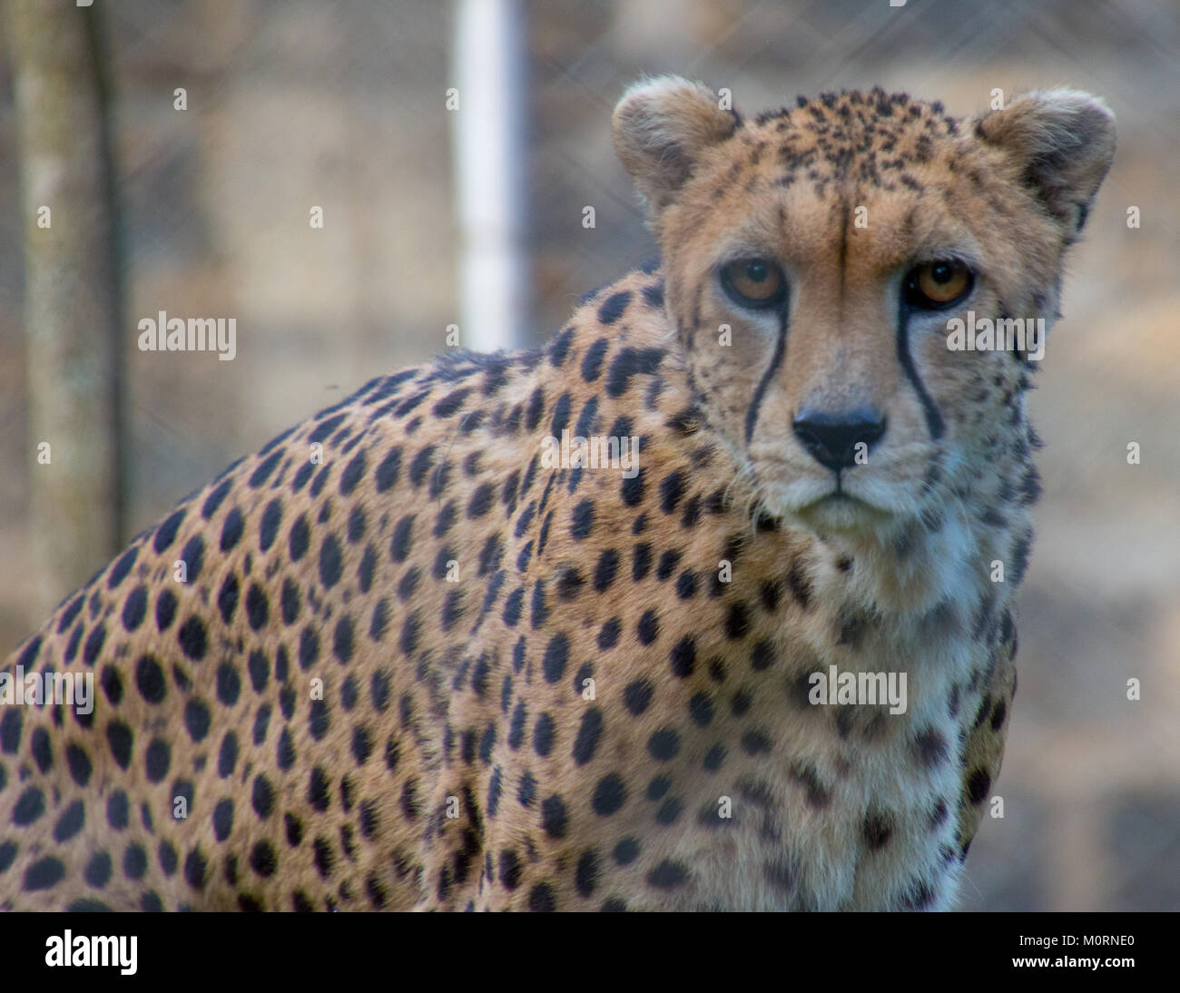 A close up with a Cheetah - Stock Image