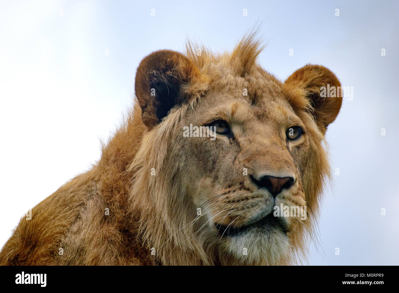 close up portrait of a young lion Stock Photo