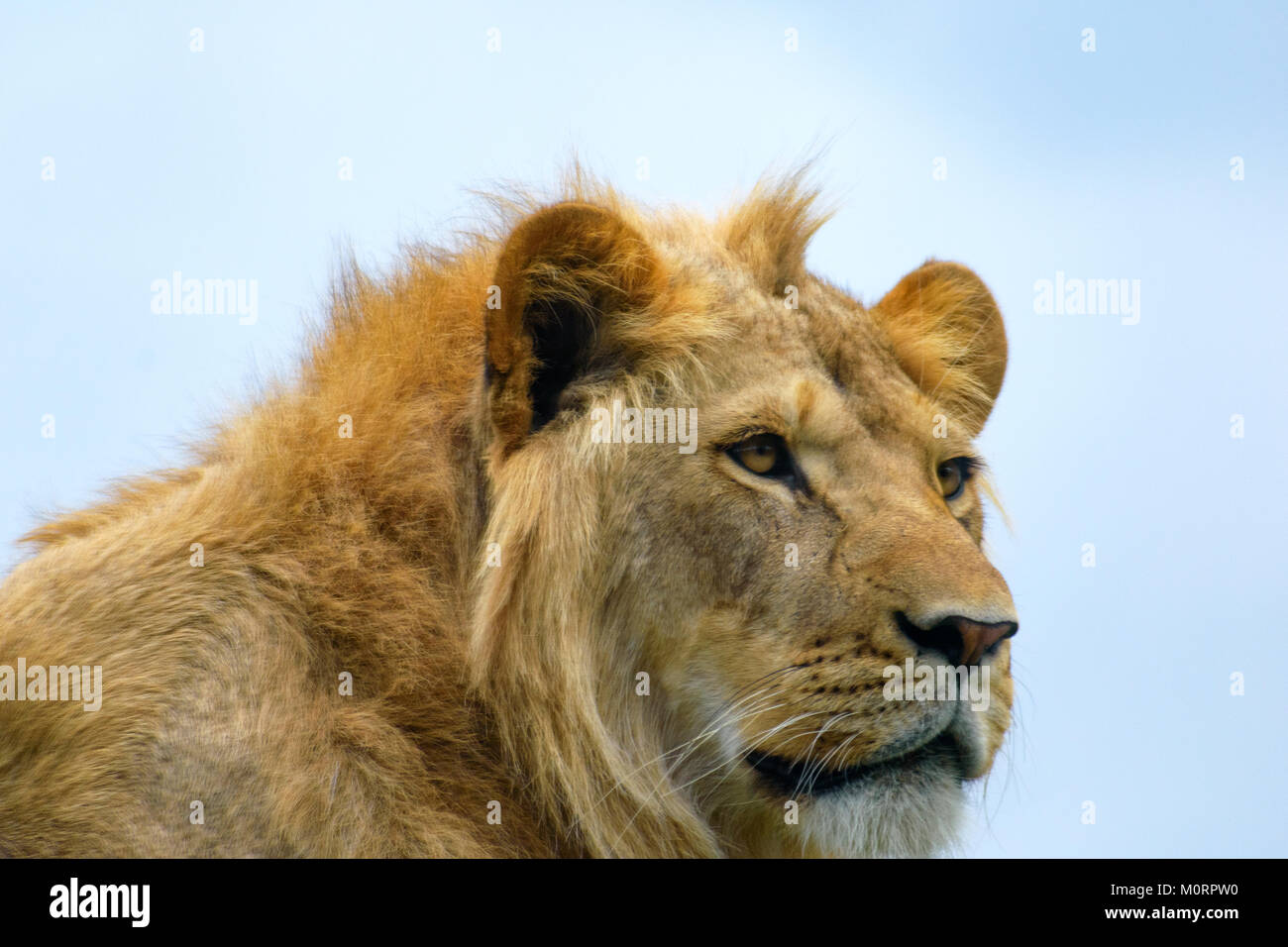 close up portrait of a young lion - Stock Image