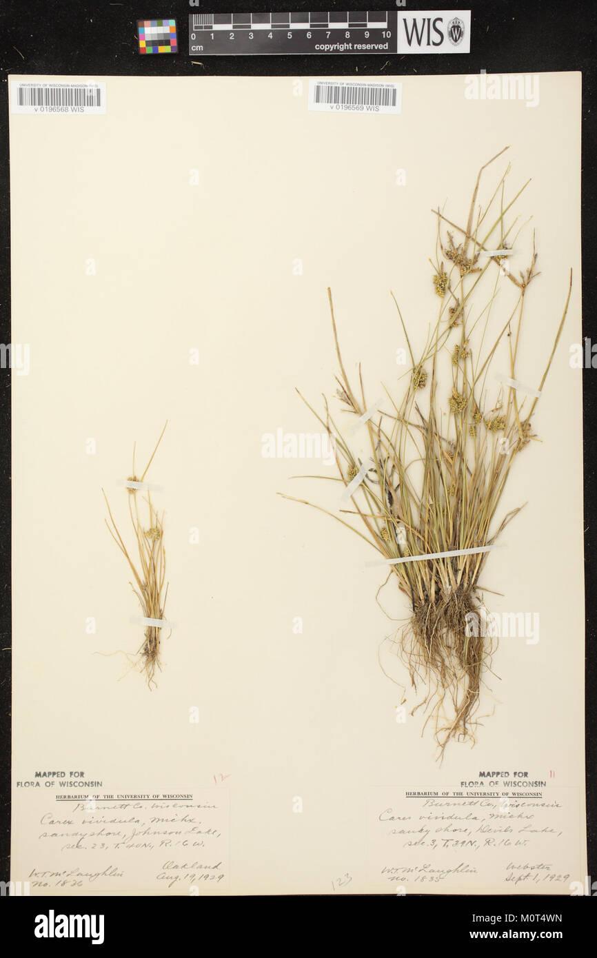 Carex oederi subsp. oederi herbarium (6) - Stock Image