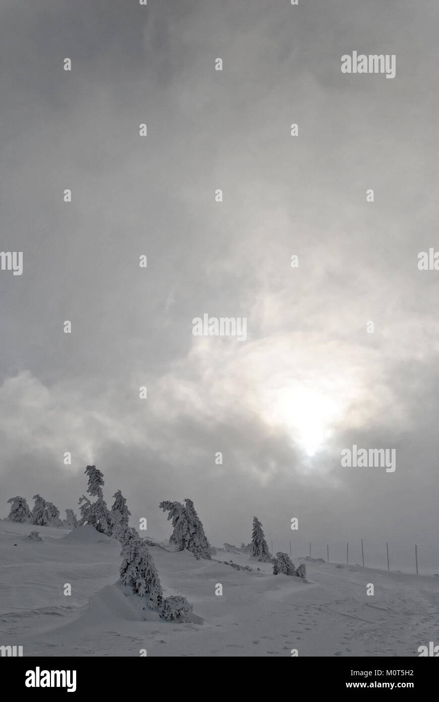 Stunted spruces near hiking trail on a cloudy winter afternoon - Stock Image