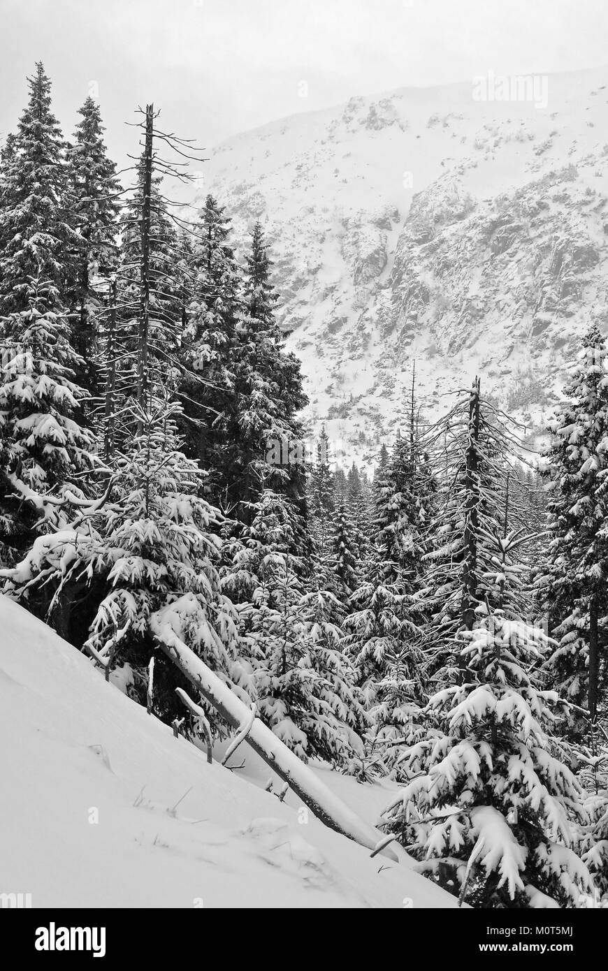 Spruces covered with snow growing on the side of a mountain with a cliff in the background - Stock Image