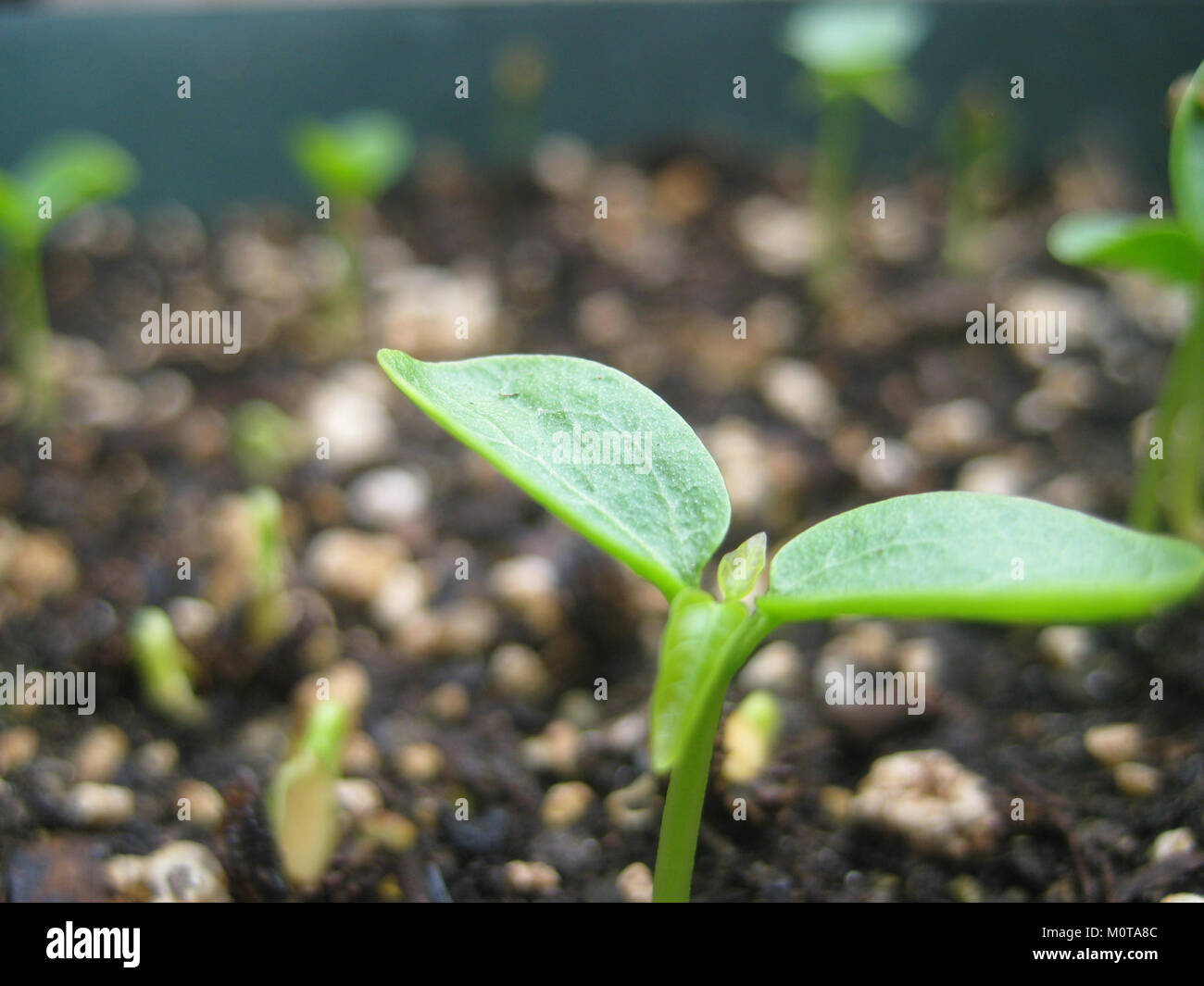 Pictures Of Papaya Seedlings