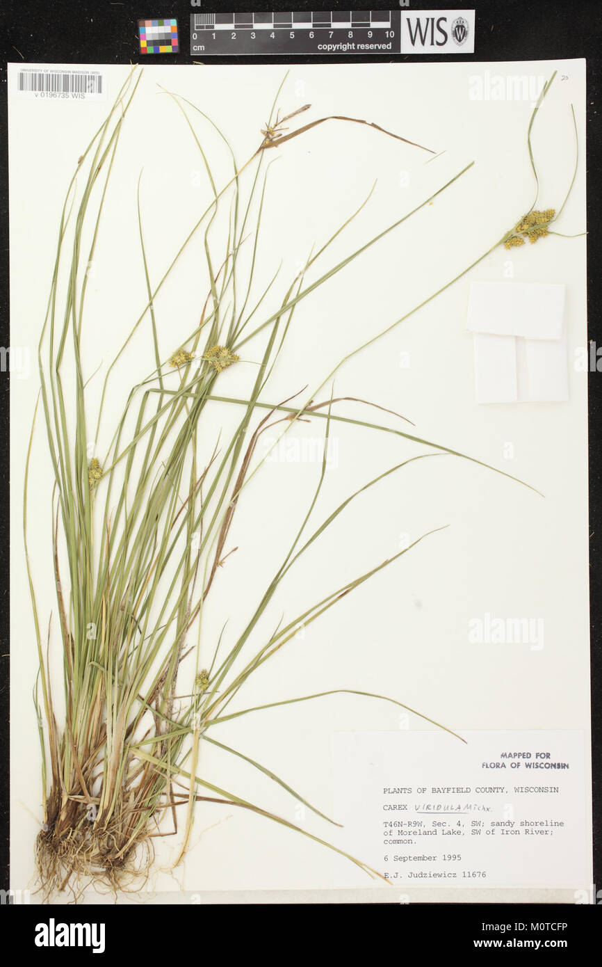 Carex oederi subsp. oederi herbarium (2) Stock Photo