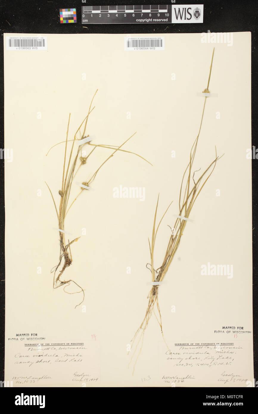 Carex oederi subsp. oederi herbarium (3) - Stock Image