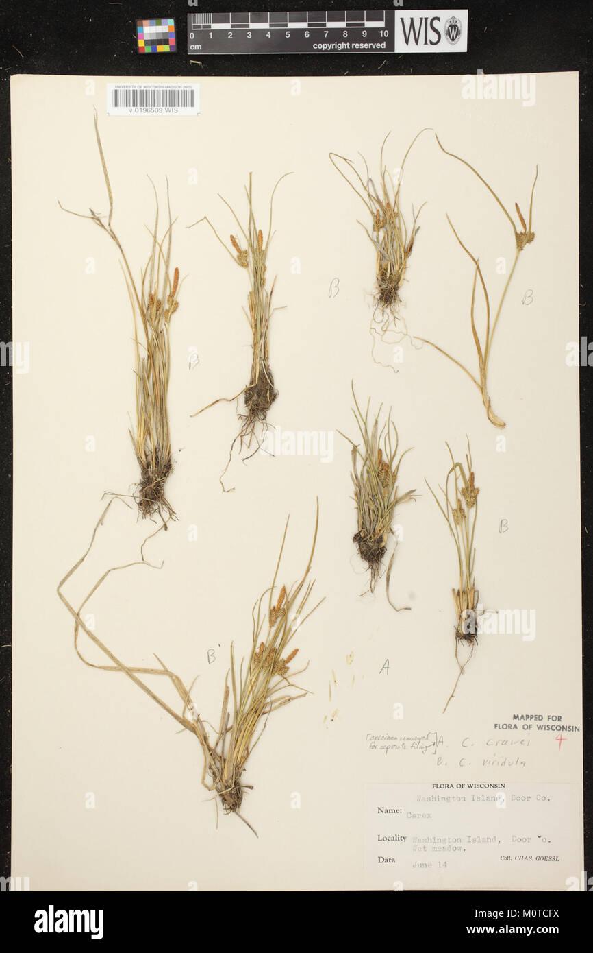 Carex oederi subsp. oederi herbarium (1) - Stock Image