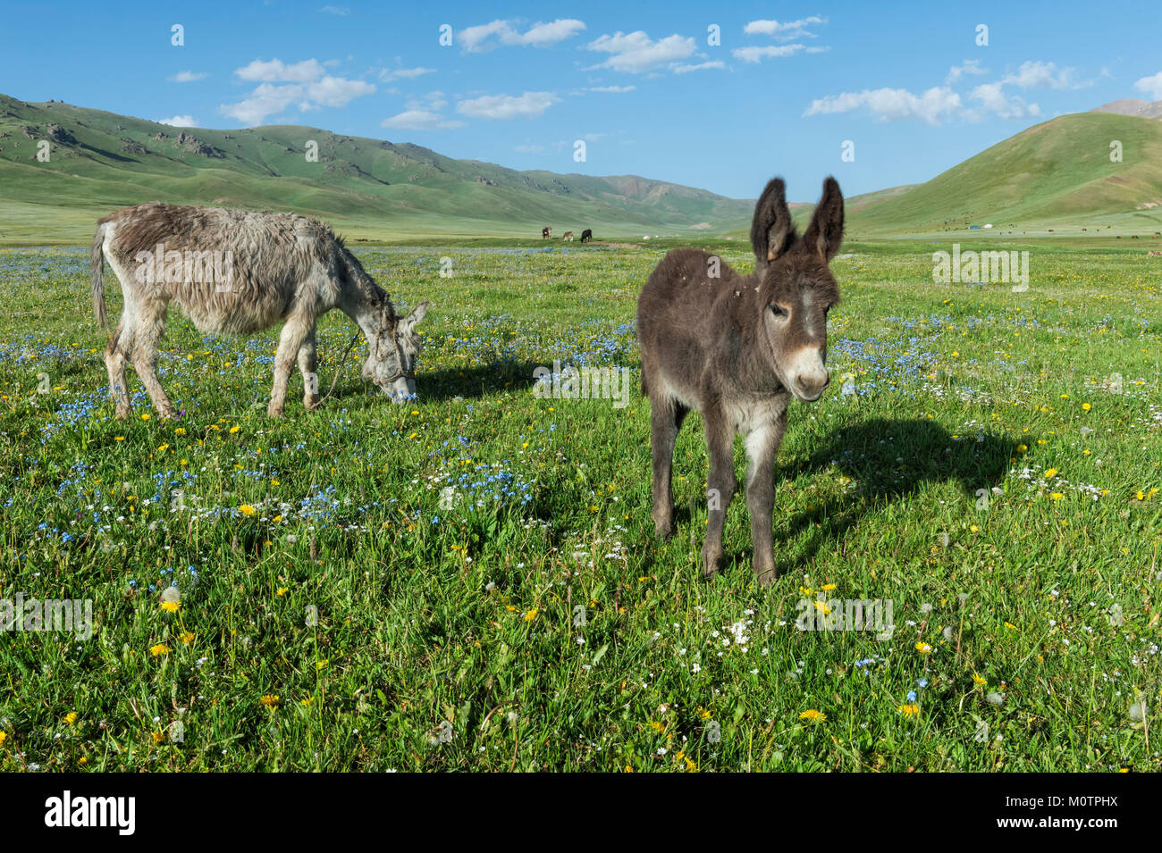 Donkeys, Song Kol Lake, Naryn province, Kyrgyzstan, Central Asia - Stock Image