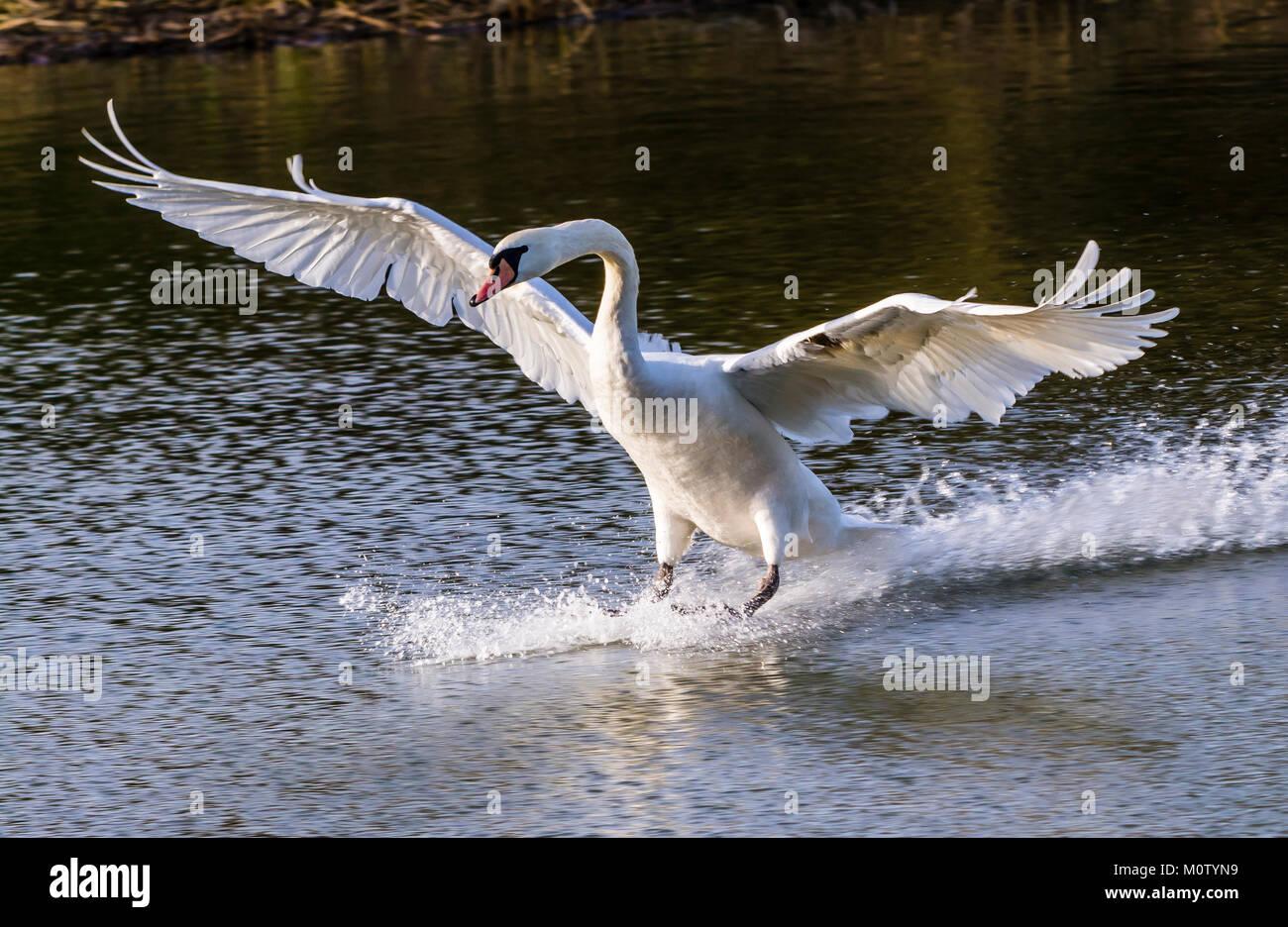 Mute Swan landing on the Octagon Lake, Stowe, Buckinghamshire, UK - Stock Image