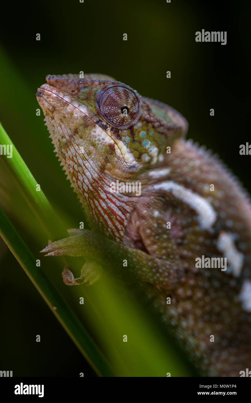 Panther Chameleon - Furcifer pardalis, Madagascar. Beautiful lizard from Madagascar rain forest. Endemic colorful. - Stock Image
