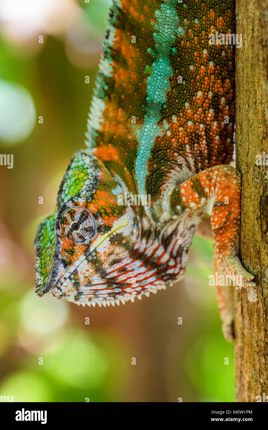 Panther Chameleon - Furcifer pardalis, Madagascar. Beautiful lizard from Madagascar rain forest. Endemic colorful - Stock Image