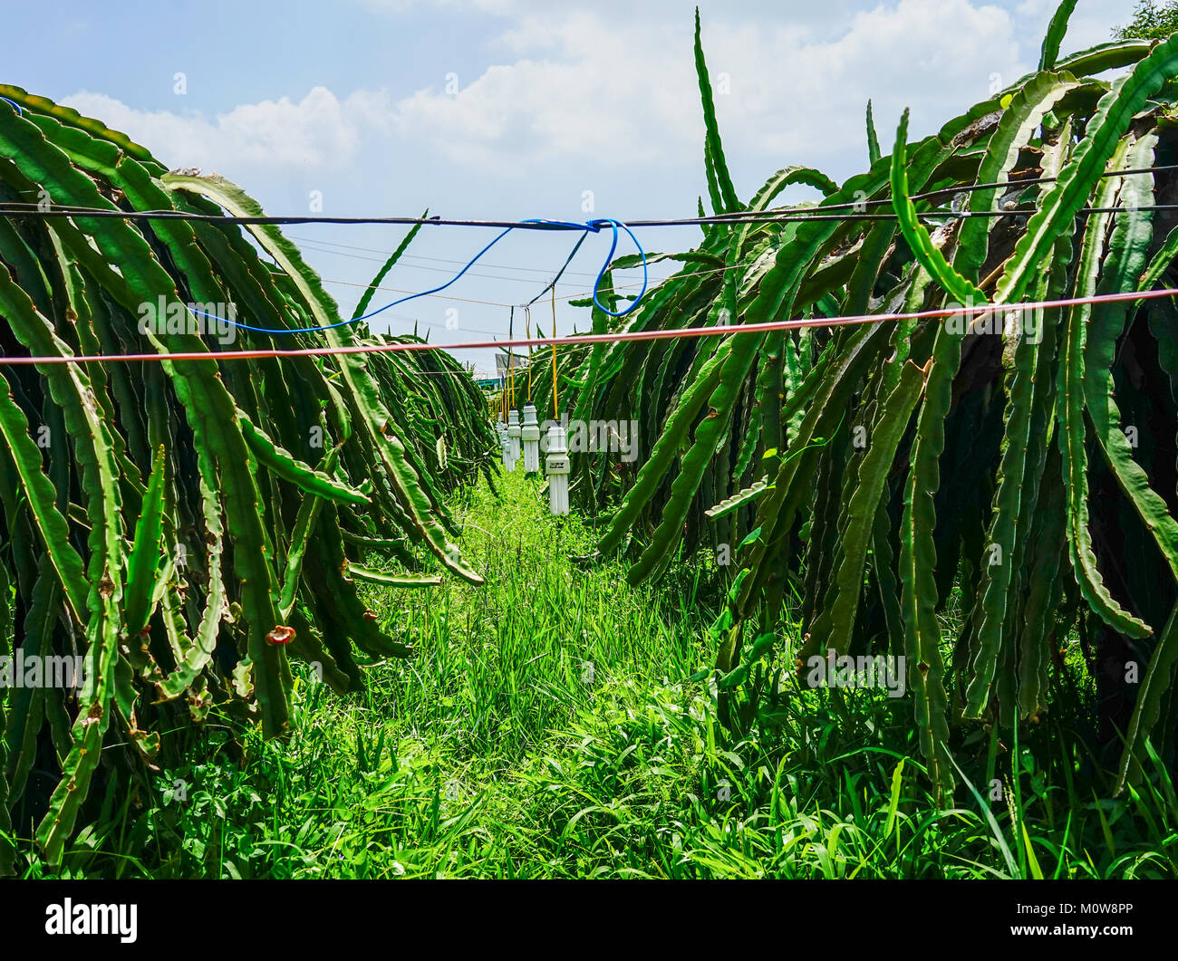Pictures Of Dragon Fruit Plantation