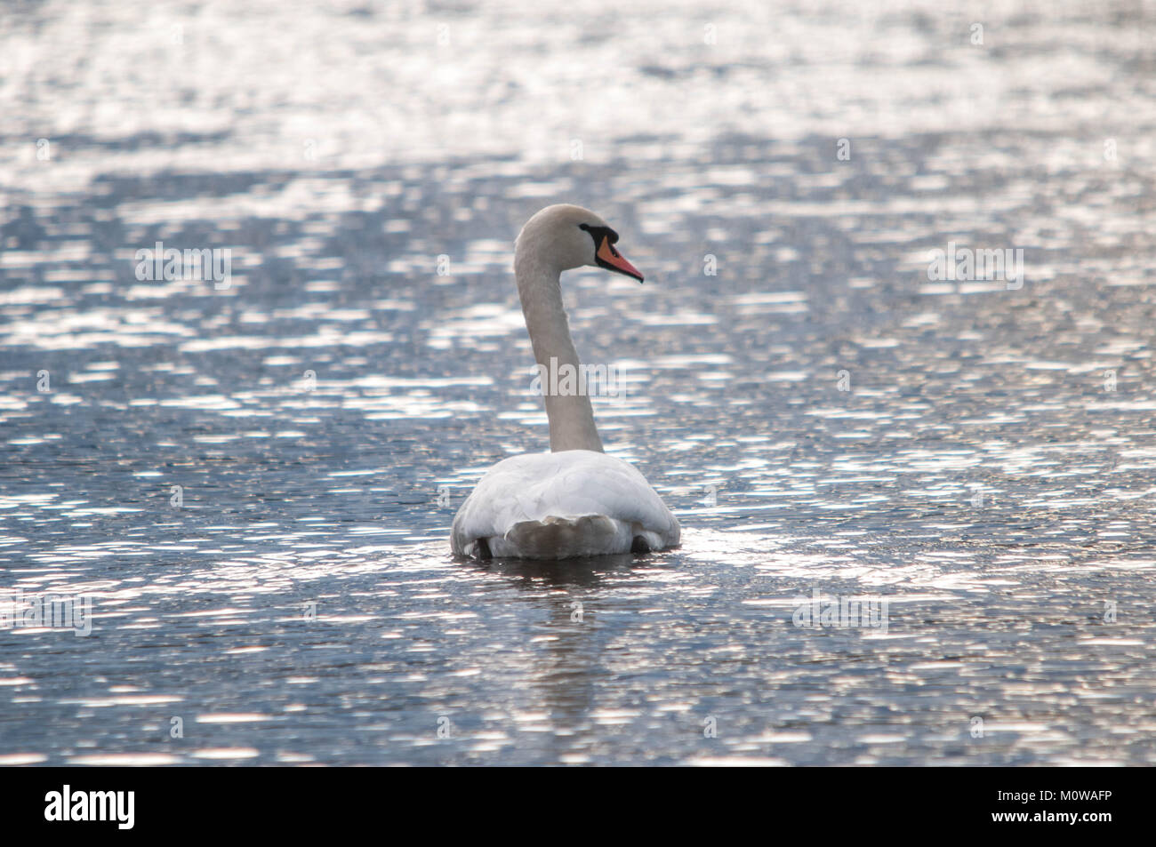 Solitary Swan with Glistening Water - Stock Image