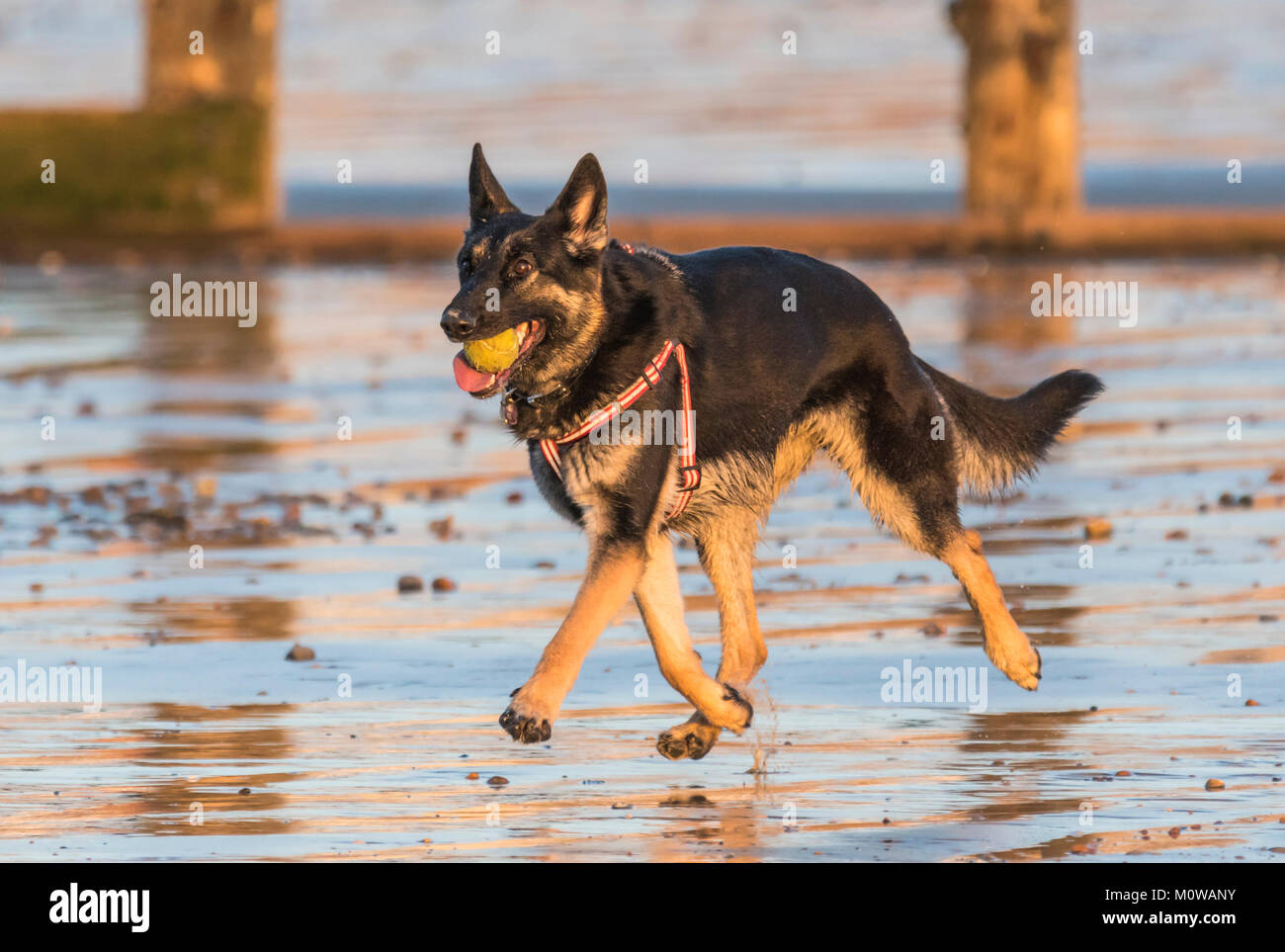 German Shepherd or Alsatian dog running on a sandy beach with a ball in it's mouth. - Stock Image