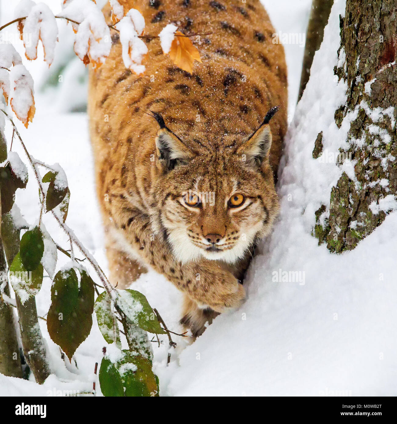 Eurasian lynx (Lynx lynx) in the snow in the animal enclosure in the Bavarian Forest National Park, Bavaria, Germany. - Stock Image