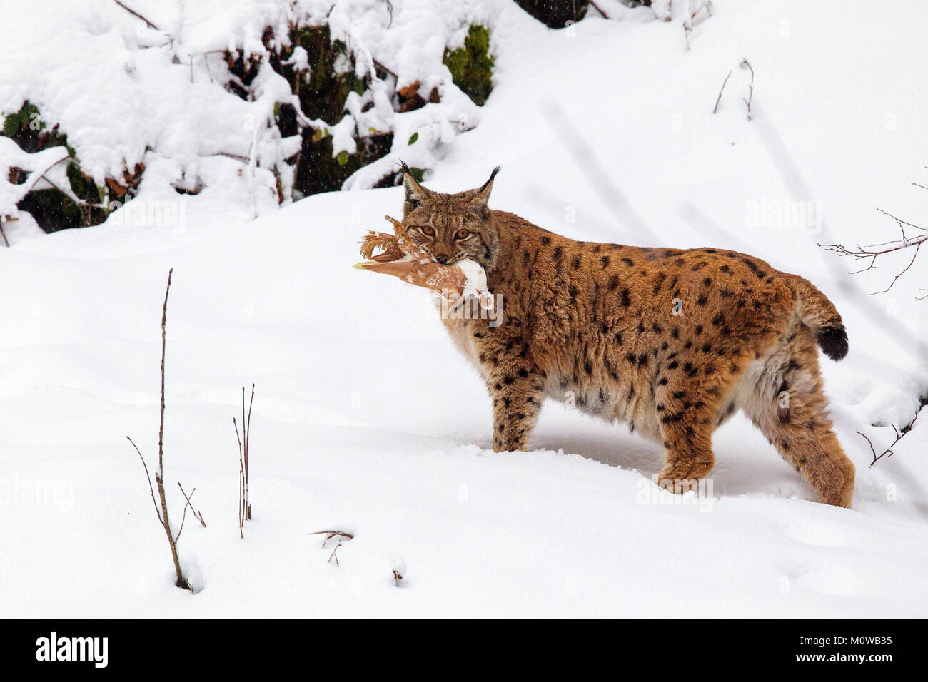 Eurasian lynx (Lynx lynx) with prey in the mouth in the snow in the animal enclosure in the Bavarian Forest National Stock Photo