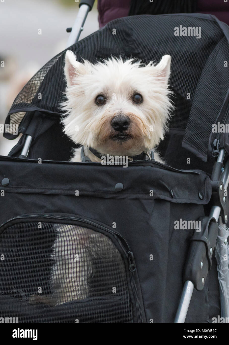 Small cute white dog sitting in a dog carrier pushchair. - Stock Image
