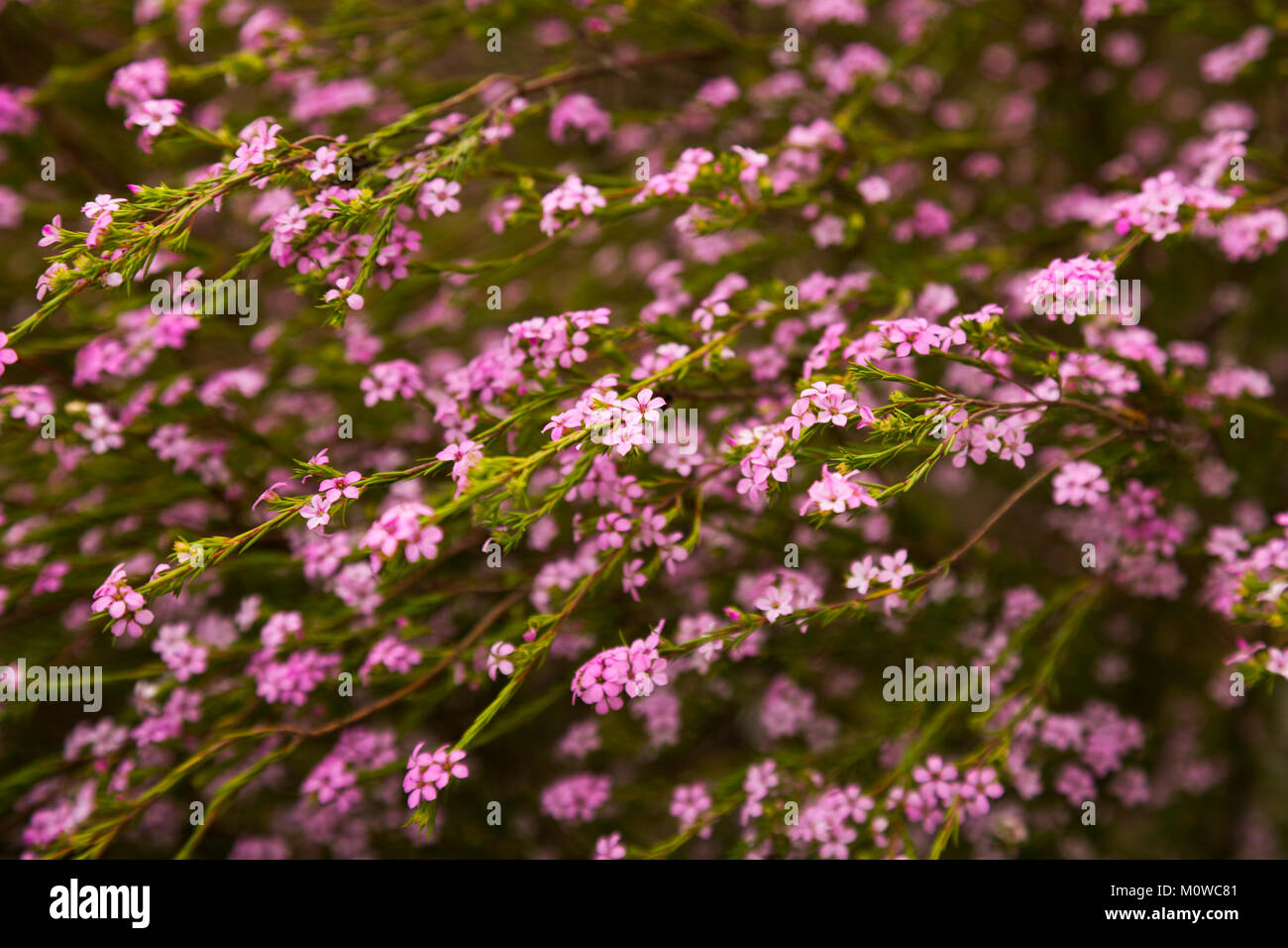 Confetti bush little pink flowers coleonema pulchellum outdoors confetti bush little pink flowers coleonema pulchellum outdoors mightylinksfo