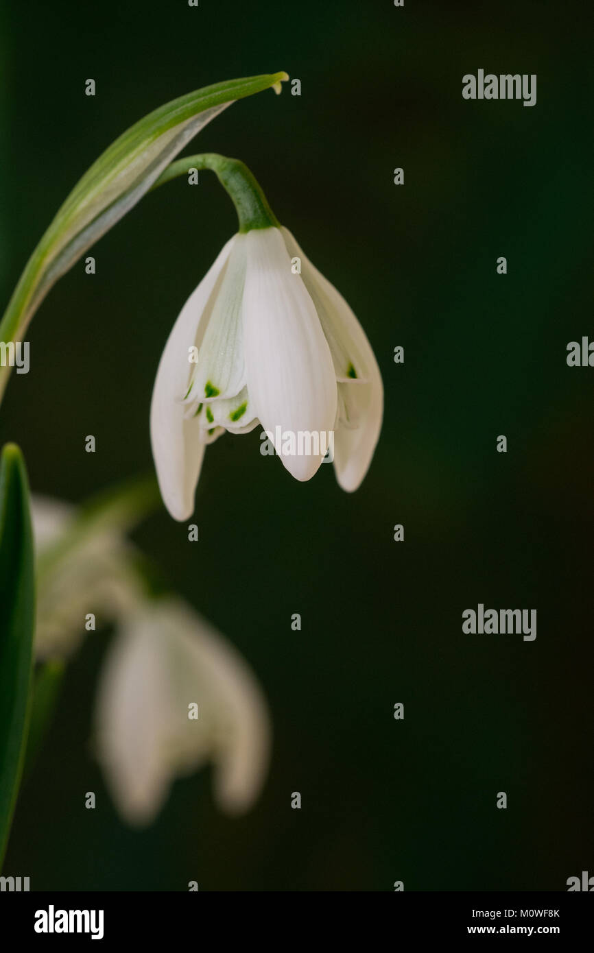 Close up of a single flower of Galanthus (snowdrop) Lady Beatrix Stanley against a dark background - Stock Image